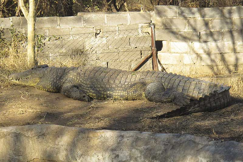 Crocodile in Wildlife Conservation in Africa.