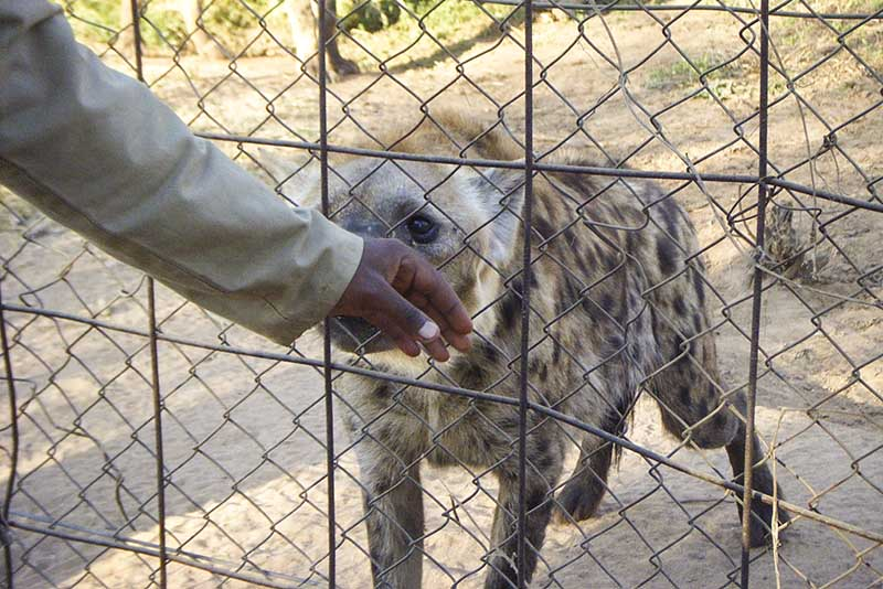A hyena sniffing a volunteers hand. Photo by: